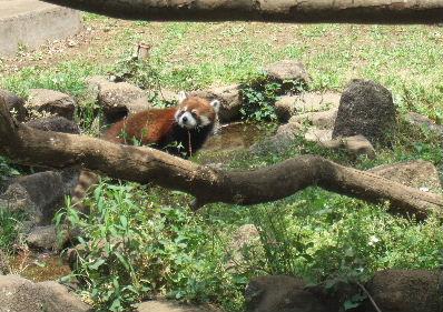 Lesser_panda